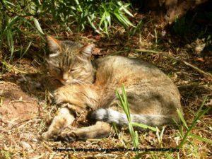predkovia mačky domácej