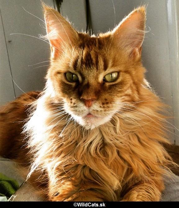 16 Mainských mývalých mačiek pri ktorých, by obyčajná mačka vyzerala ako veľmi malá