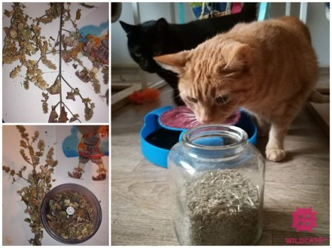 Spracovanie kocúrnika obyčajného pre mačky