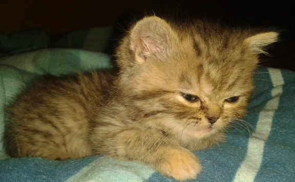 údajne perzské mačiatko