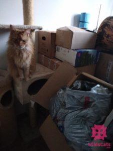 Aimme a krabice, mainská mývalia
