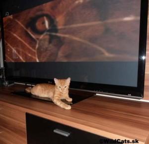 Robin a lev v televízii