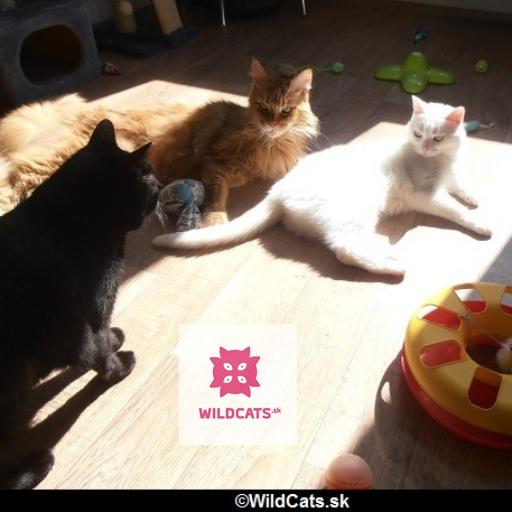 Ako zjednodušiť priebeh zoznamovania mačiek
