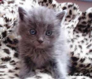 Kollby mačiatko
