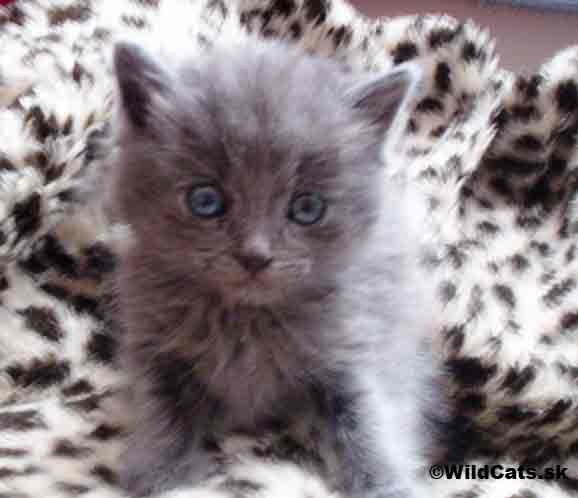Gravidita mačiek, vývoj mláďat a pôrod