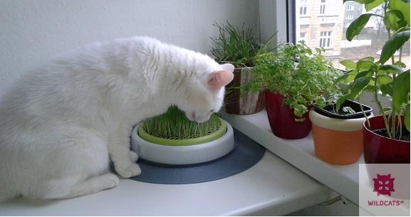Mačka botanička alebo prevencia trichobezoárov