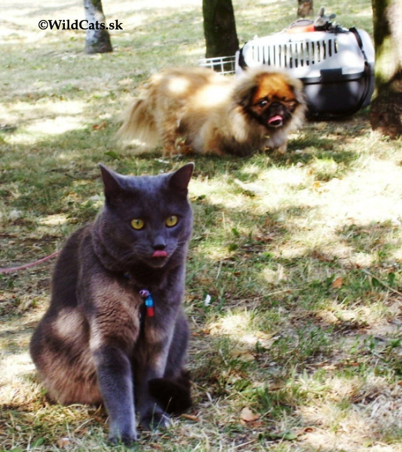 mačka na tráve