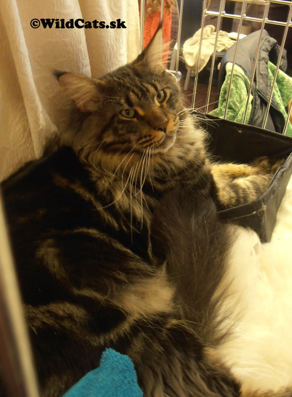 13.-14. Medzinárodná výstava mačiek v Banskej Bystrici