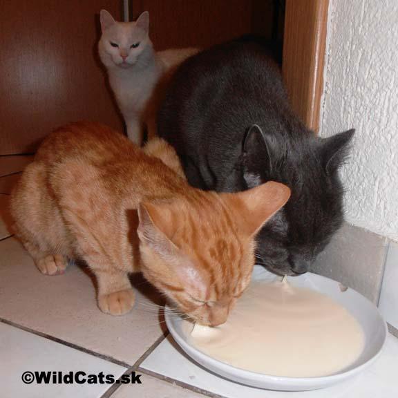 Mlieko, mliečne výrobky a syry vo výžive mačiek