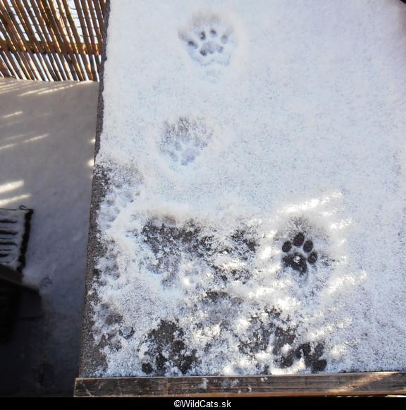 Snehové hry ryšavcov