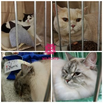 Siberian Expedition Star Cats Show 2018