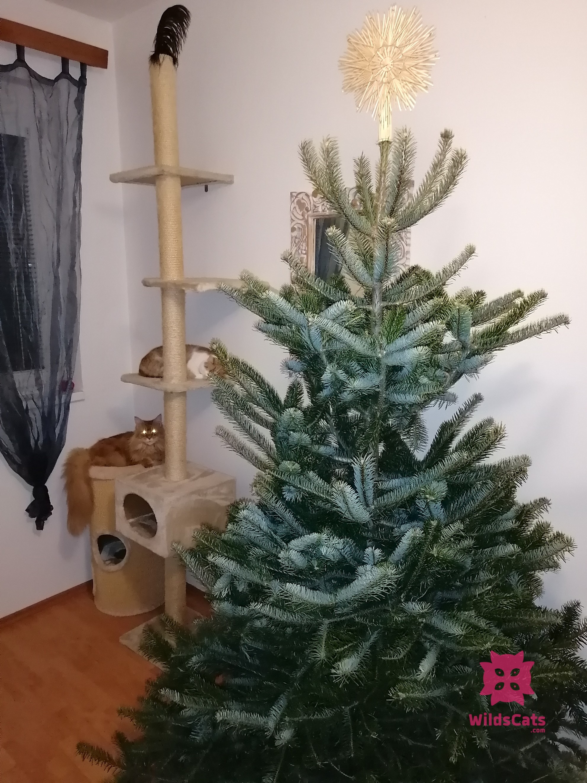 Mačky a vianočný stromček